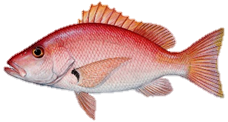 Blackfin Snapper Fish