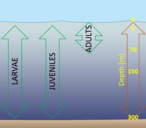 Gulf Cobia (ling) Depth Maps
