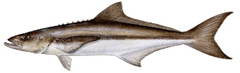 Gulf Cobia (ling)