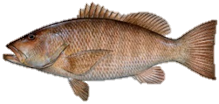 Cubera Snapper Fish