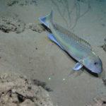 goldentilefish