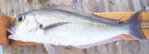 Goldface Tilefish