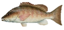 Gray Mangrove Snapper Fish