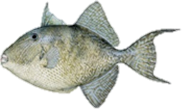 Gray Triggerfish