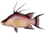 Gulf Hogfish