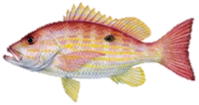 Lane Snapper Fish
