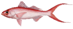 Queen Snapper Fish