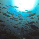 bandedrudderfish