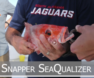 Red Snapper Release - Univeristy of South Alabama Fisheries Ecology Lab
