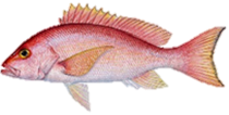 Silk Snapper Fish