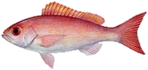 Vermilion Snapper Fish