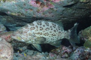 Yellowmouth Grouper – Gulf of Mexico Fishery Management ...
