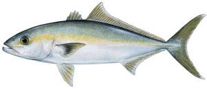 Banded Rudderfish