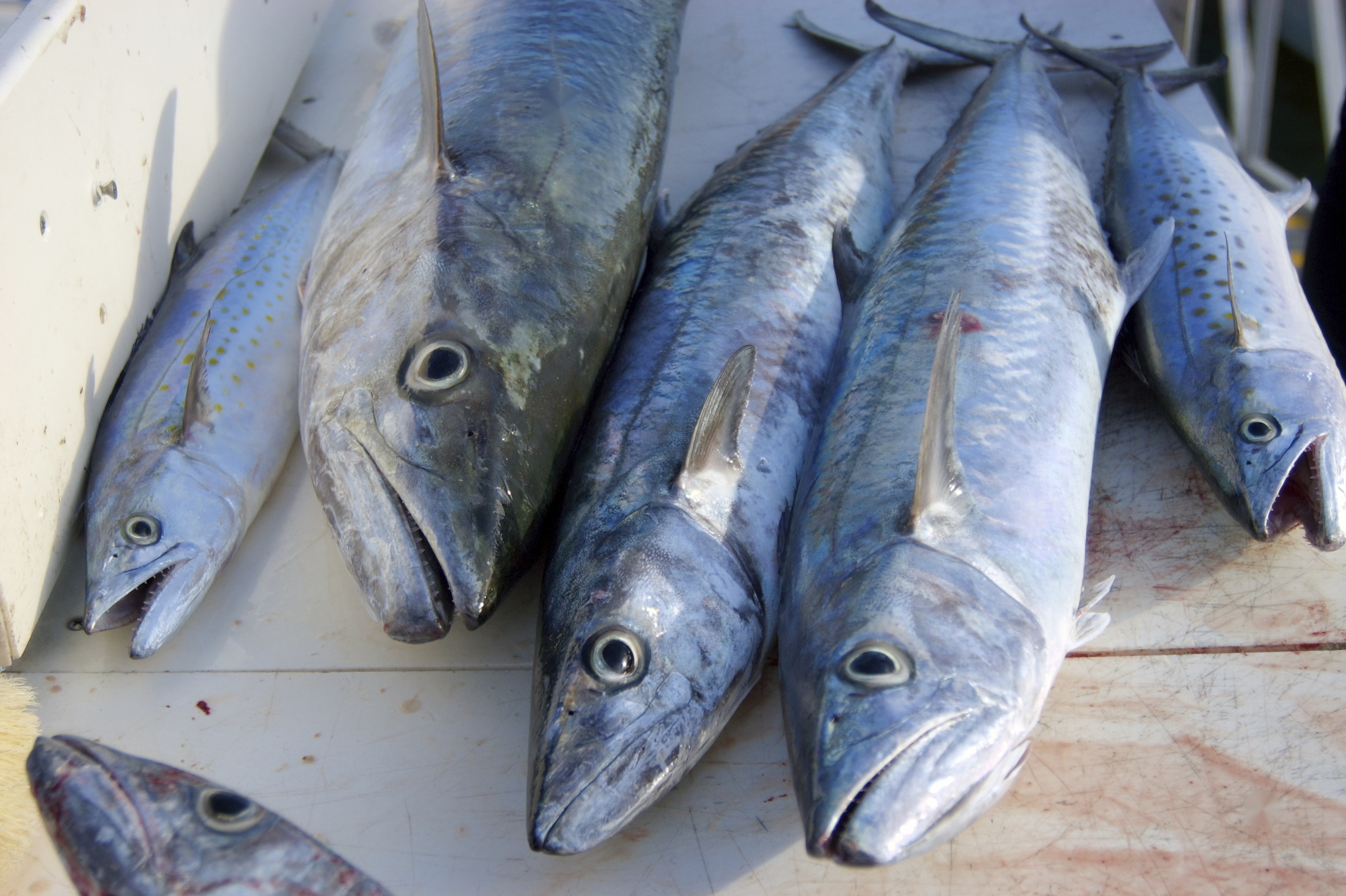 istock King and Spanish Mackerel