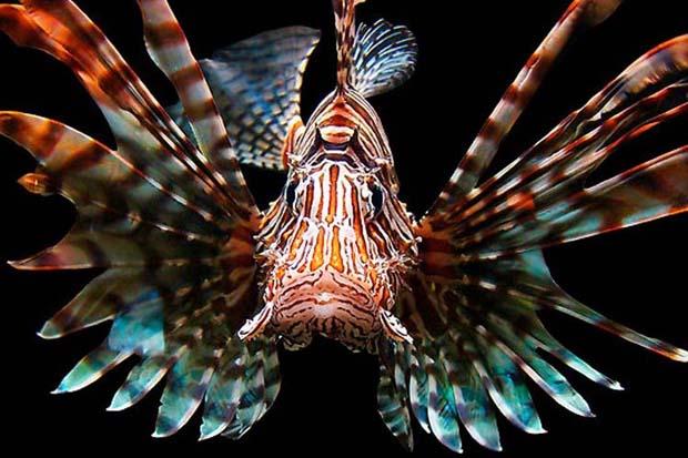 lionfish 750x500