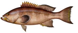 Yellowmouth Grouper
